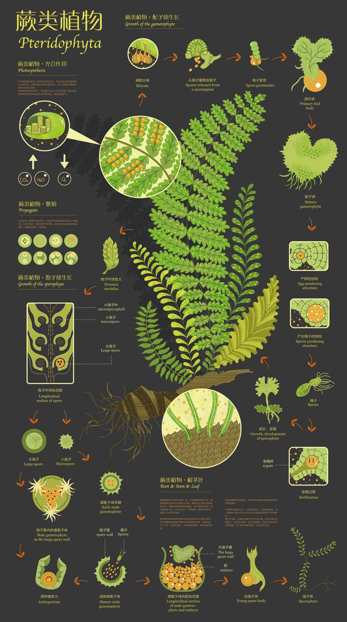 ботаническая инфографика — папоротник