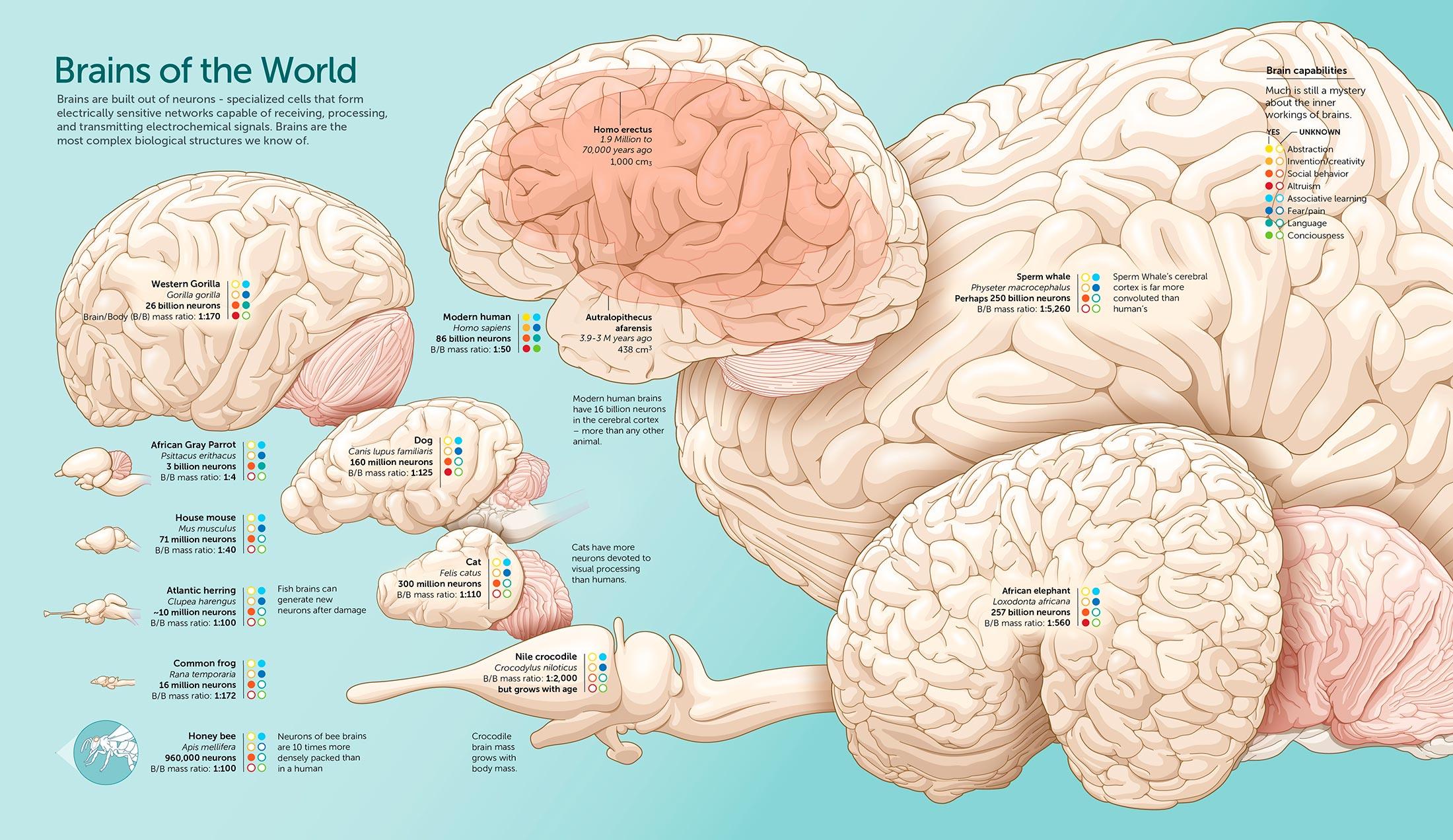 Инфографика: Сравнение мозга человека